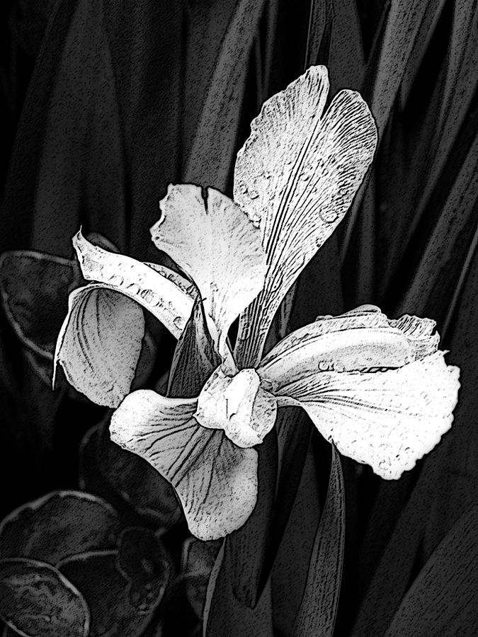 Siberian Iris In Black And White Photograph