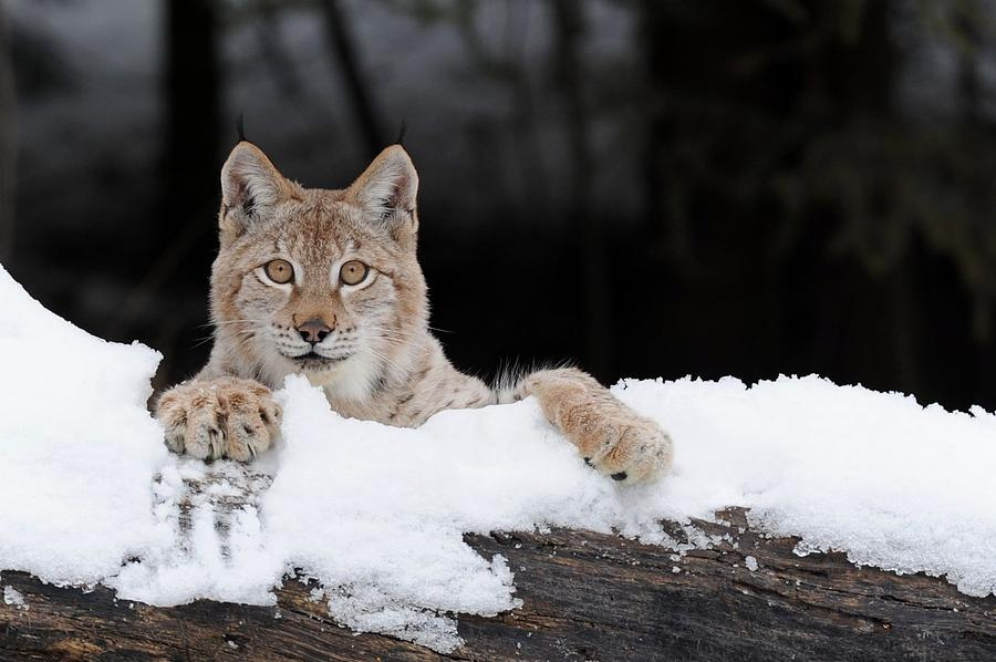 the siberian lynx This cat was difficult to research as the dates are conflicting early usda papers show that a siberian lynx named natasha was born 5-5-94 and was purchased from tom kavan, a mn fur farm, at 10 days old for 1200.