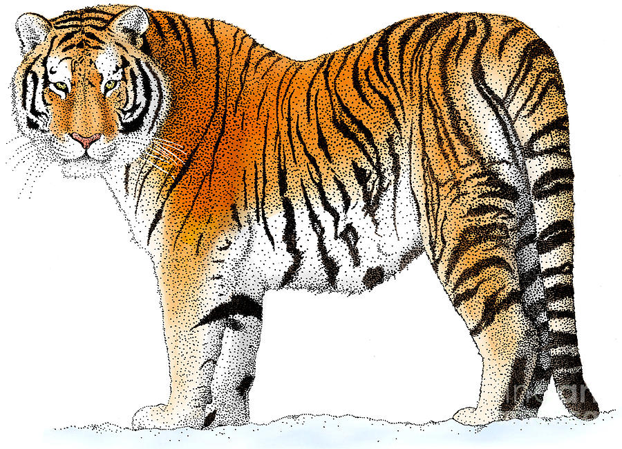 Siberian Tiger Drawing By Roger Hall And Photo Researchers