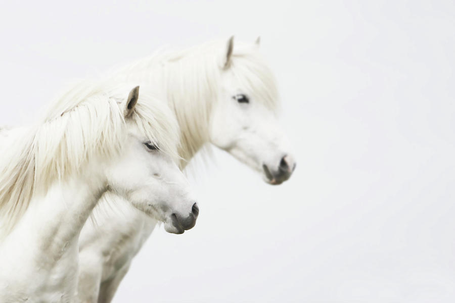 Side Face Of Two White Horse Photograph