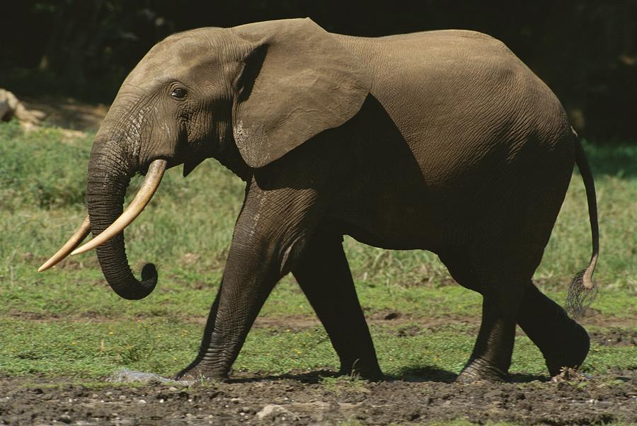 Side View Of An Adult Forest Elephant Photograph By