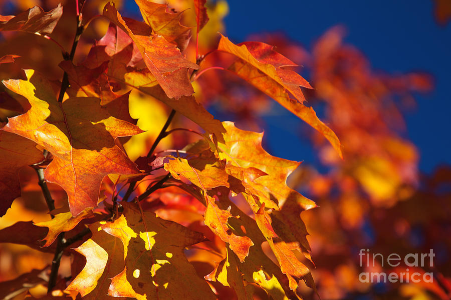 Sierra Autumn Leaves In Orange And Gold Photograph  - Sierra Autumn Leaves In Orange And Gold Fine Art Print