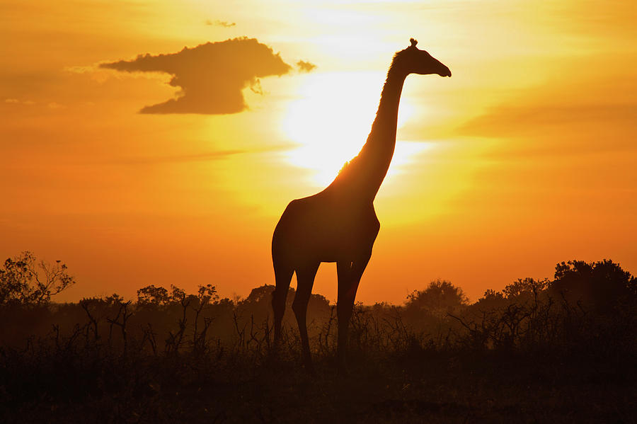 Silhouette Giraffe At Sunset Photograph