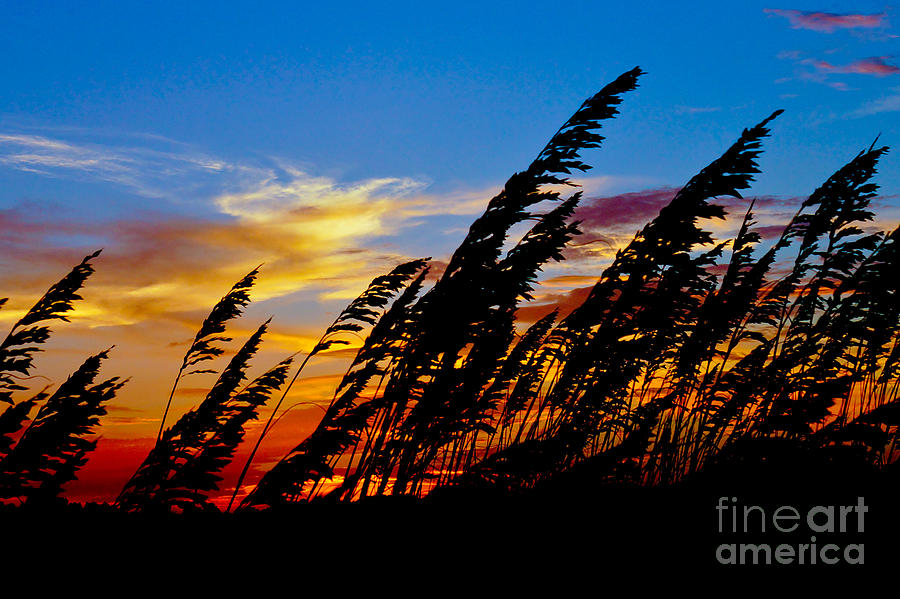 Silhouette  Oats Photograph