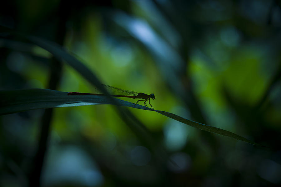 Silhouette Of A Damselfly Photograph  - Silhouette Of A Damselfly Fine Art Print