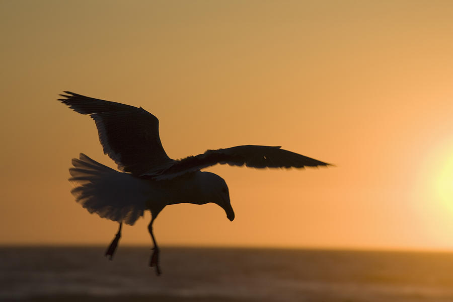 Silhouette Of A Seagull In Flight At Photograph
