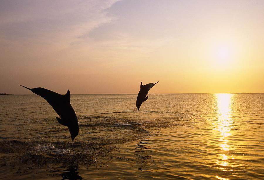 Silhouette Of Bottlenose Dolphins Photograph