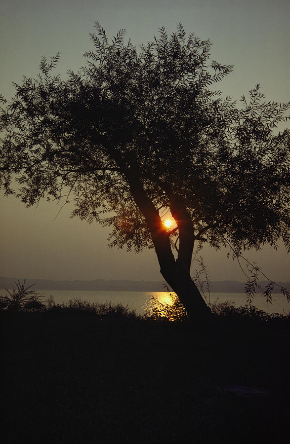Silhouette Of Willow Tree At Sunset Photograph