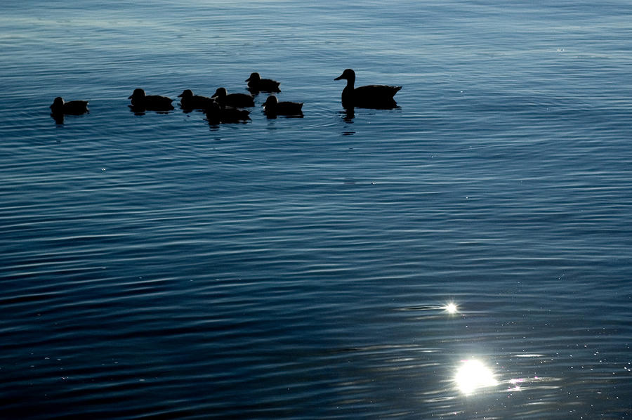 Silhouetted Duck Family Swims Photograph