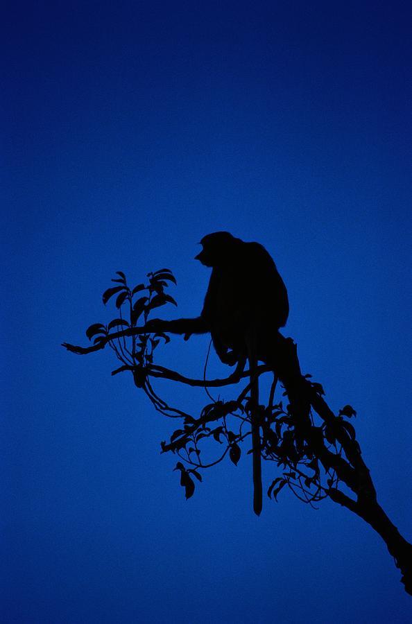 Silhouetted Proboscis Monkey Nasalis Photograph