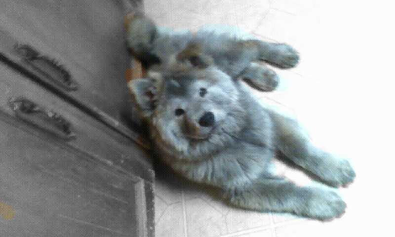 Silver-coated Chow And Husky Mix by Margret-Anne Shifrin