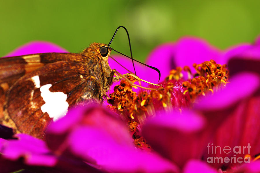 Silver-spotted Skipper On Zinnia Photograph  - Silver-spotted Skipper On Zinnia Fine Art Print