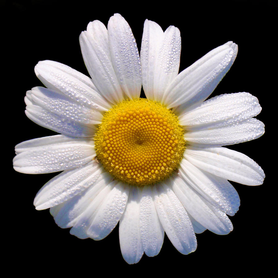 The great gatsby 39 s usage of the automobile as a symbol Where did daisies originate