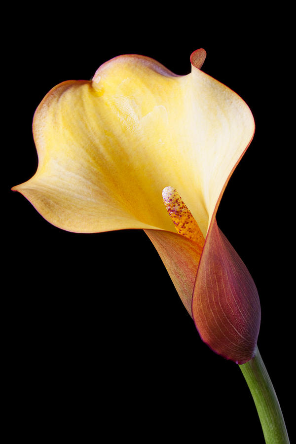 Single Calla Liliy Photograph  - Single Calla Liliy Fine Art Print