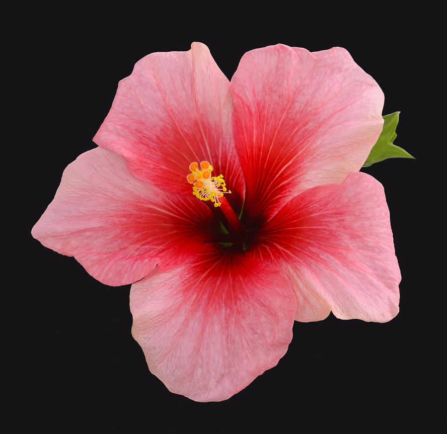 Horizontal Photograph - Single Hibiscus Flower On A Black Background by Rosemary Calvert