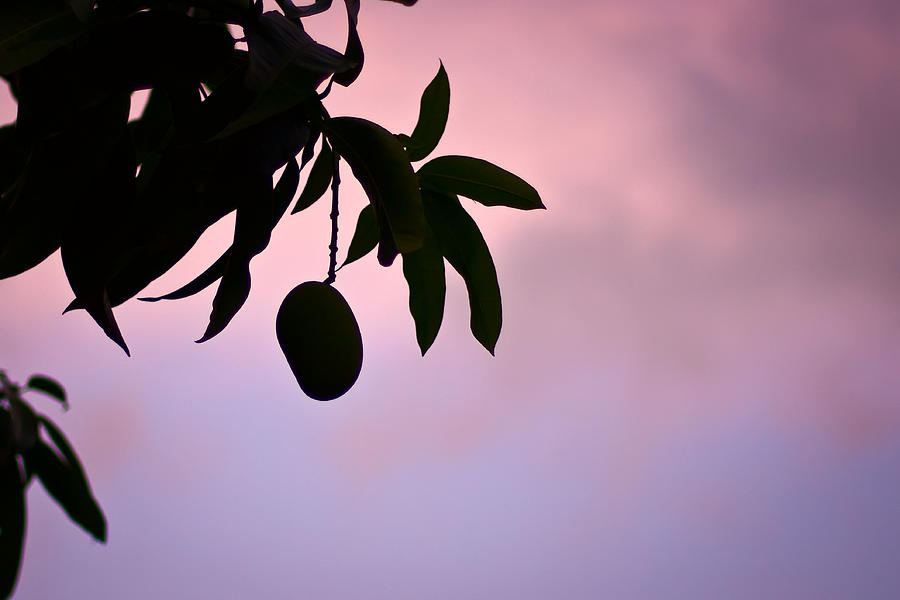Mango Photograph - Single Mango On A Tree At Twilight by Anya Brewley schultheiss