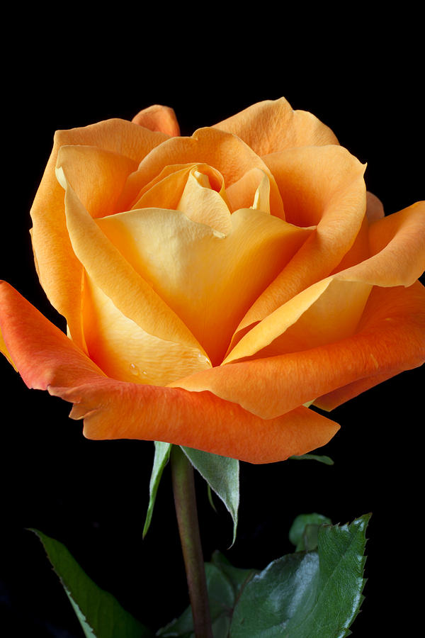 Single Orange Rose Photograph  - Single Orange Rose Fine Art Print