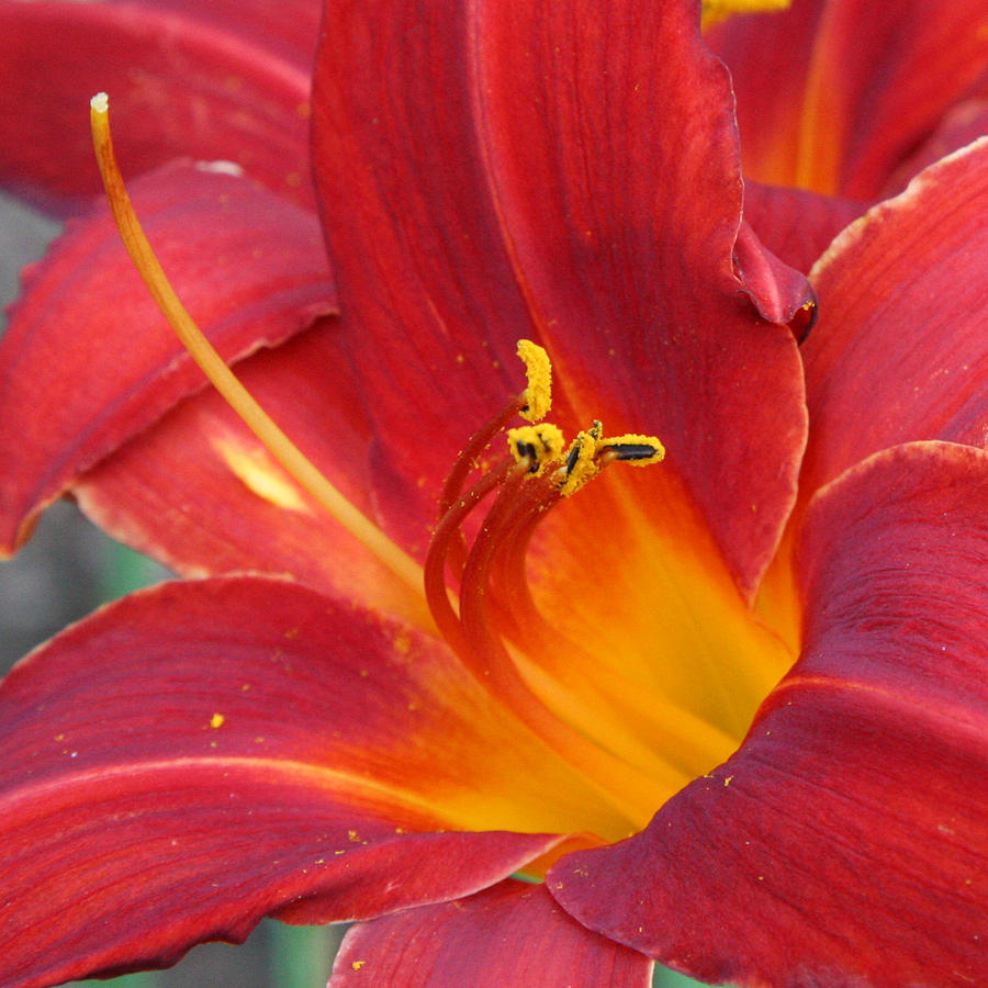Single Red Lily 2 Photograph