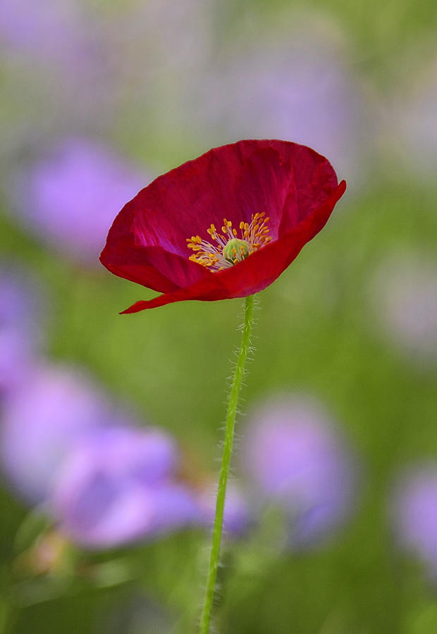 Red Poppy Photograph - Single Red Poppy  by Saija  Lehtonen