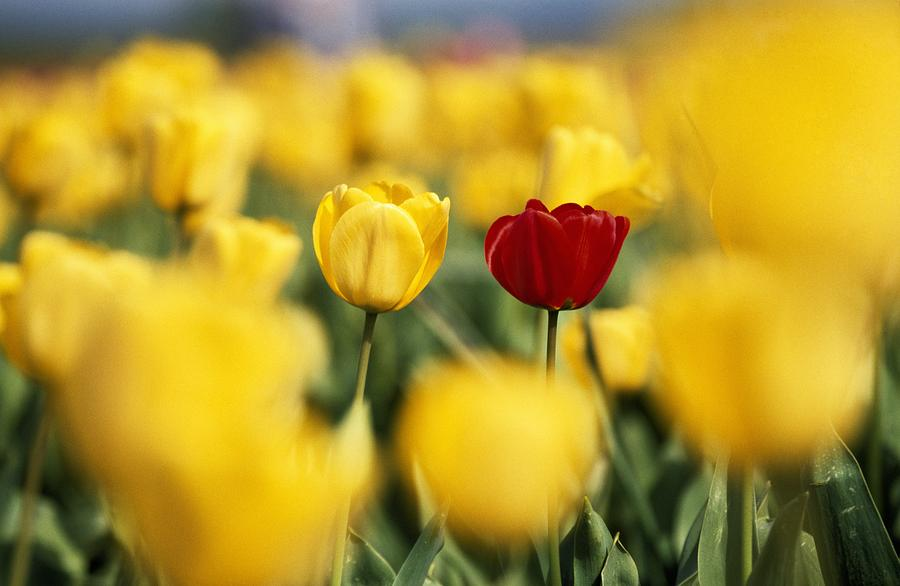 Single Red Tulip Among Yellow Tulips Photograph by Natural ...