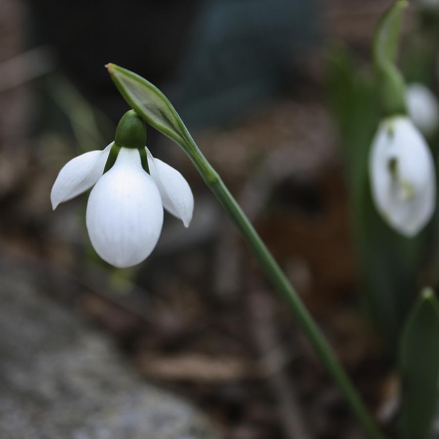 Single Snowdrop Squared 1 Photograph