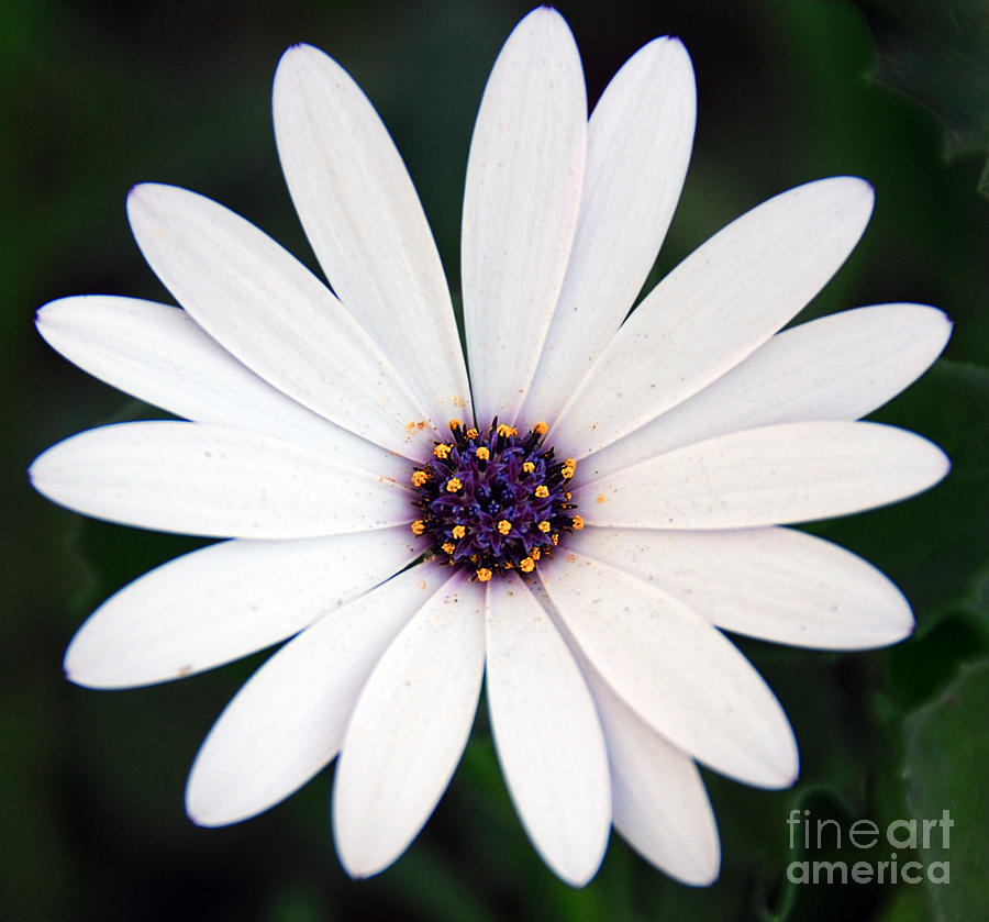 Single White Daisy Macro Photograph