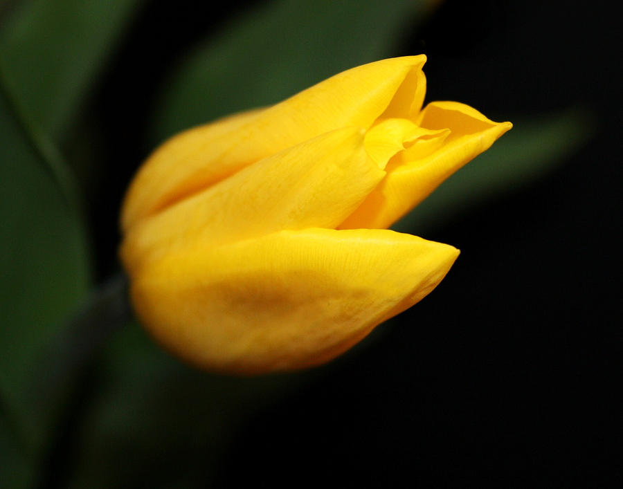 Single Yellow Tulip by Cathie Tyler