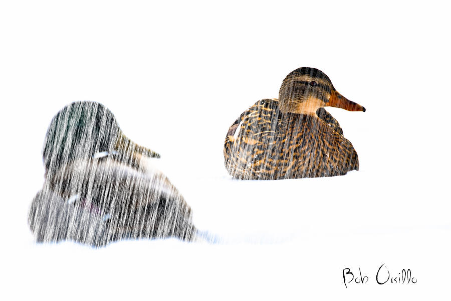 Sitting Ducks In A Blizzard Photograph  - Sitting Ducks In A Blizzard Fine Art Print