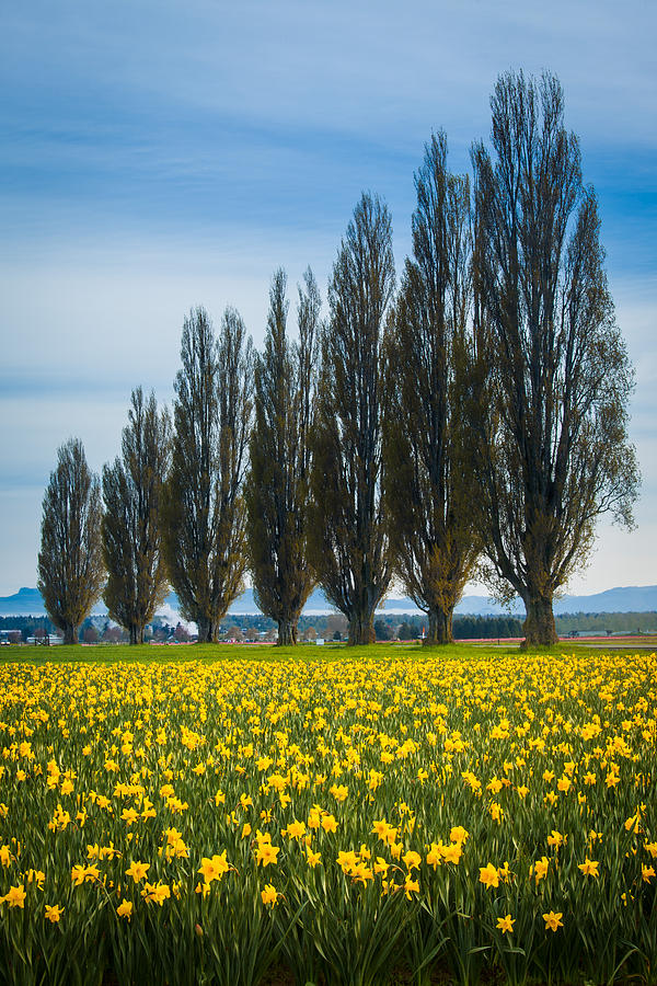 Skagit Trees Photograph  - Skagit Trees Fine Art Print