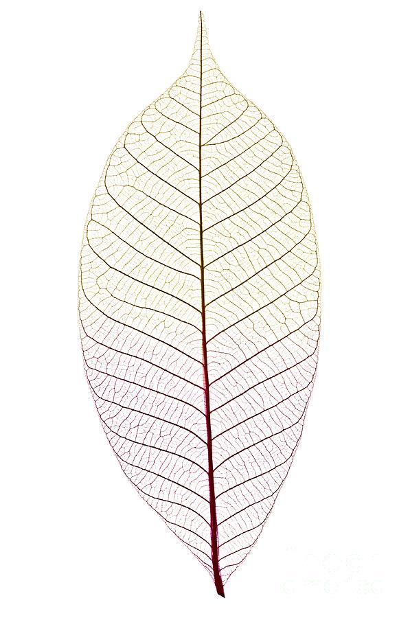 Skeleton Photograph - Skeleton Leaf by Elena Elisseeva