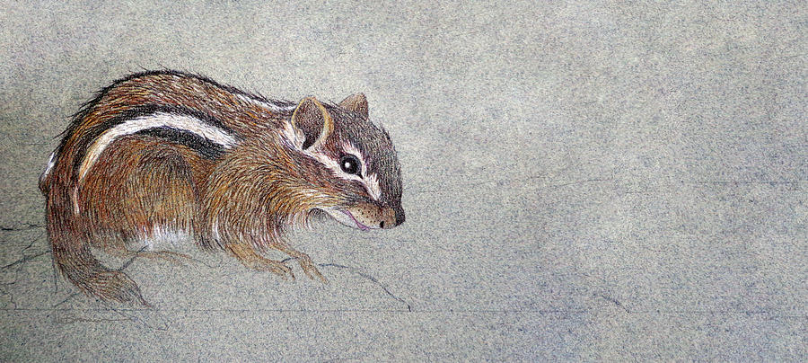 Sketch Of An Eastern Chipmunk Drawing  - Sketch Of An Eastern Chipmunk Fine Art Print