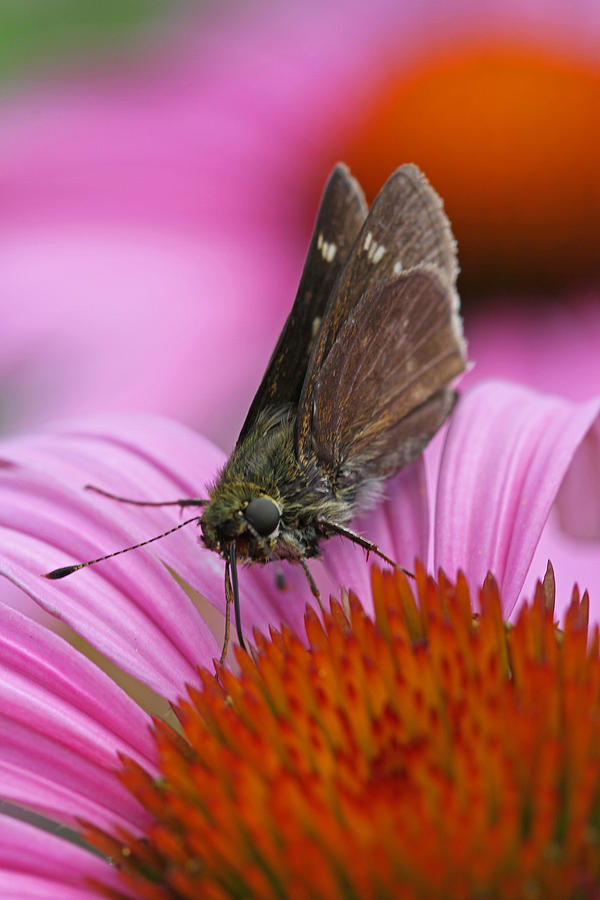 Skipper Moth Macro Photography Photograph