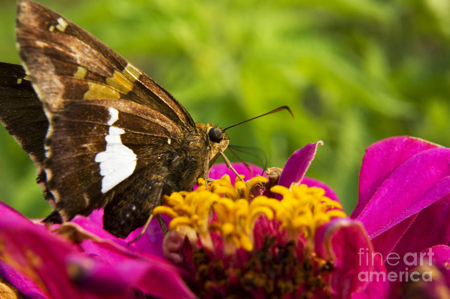 Skipper On Zinnia Photograph