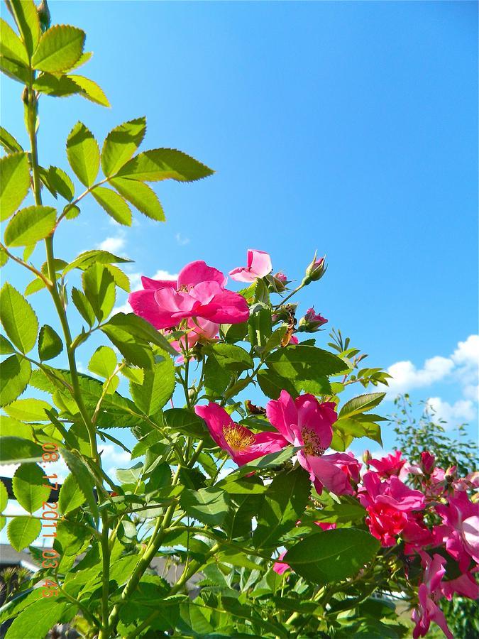 Skyward Roses Photograph