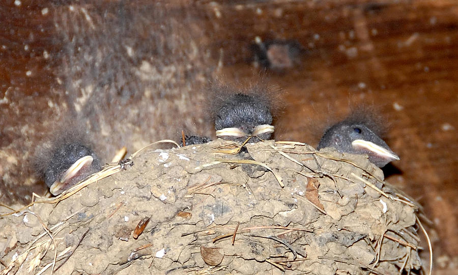 Sleeping Barn Swallows Photograph