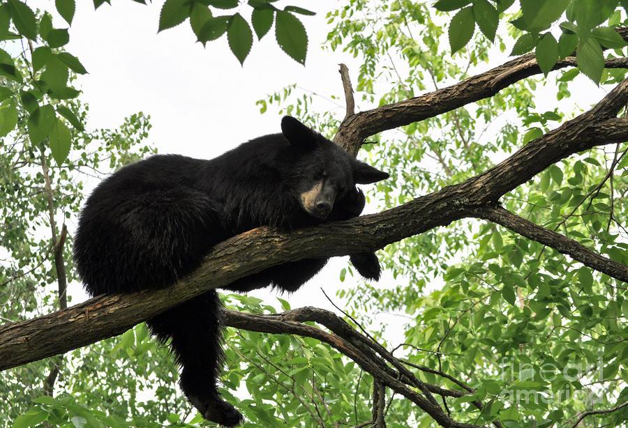 Sleeping Bear Pyrography