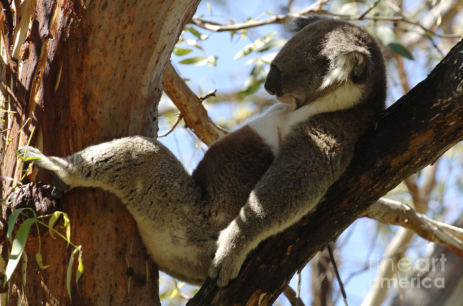 Sleeping Koala Photograph  - Sleeping Koala Fine Art Print