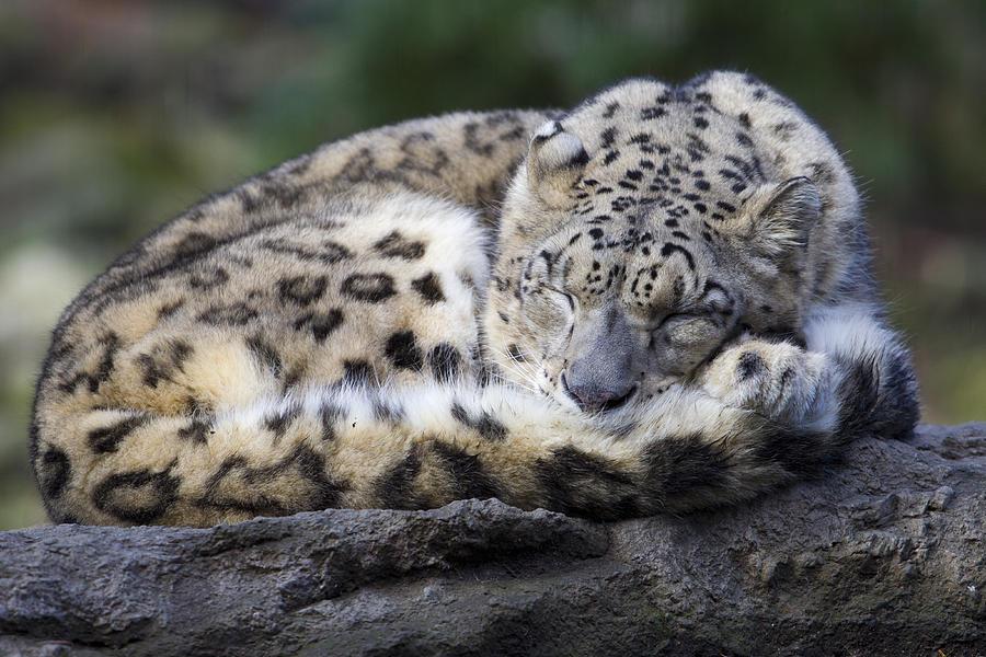 Sleeping Leopard Photograph by Gordon Donovan