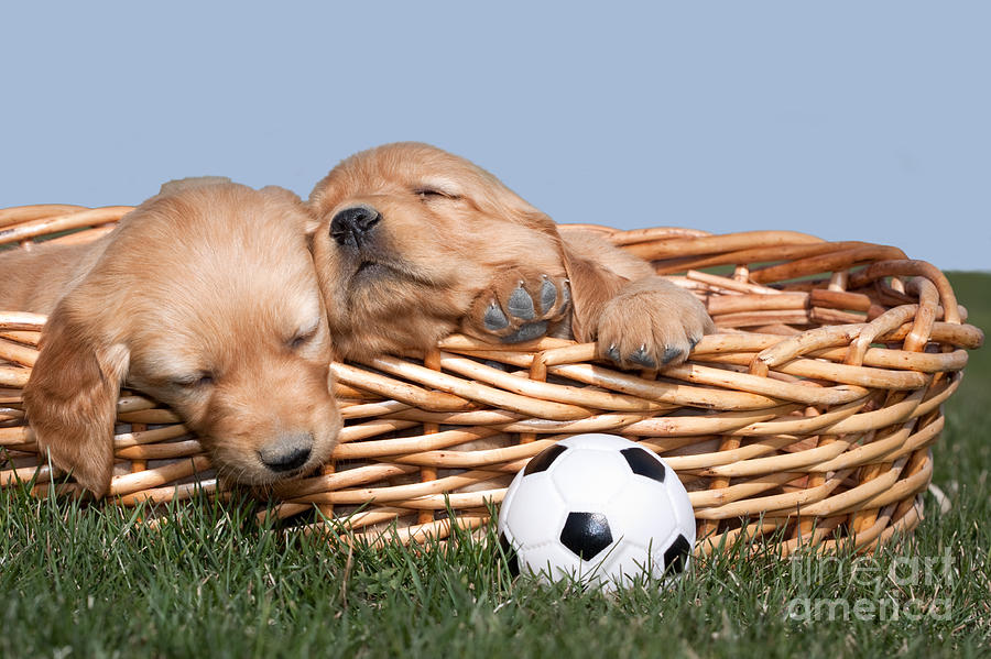 Sleeping Puppies In Basket And Toy Ball Photograph
