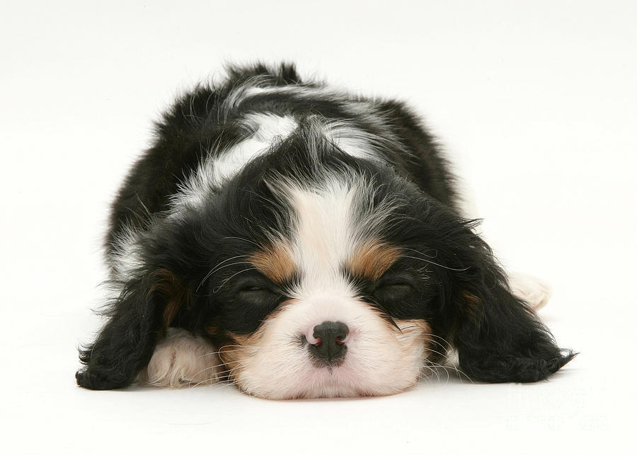Sleeping Puppy Photograph