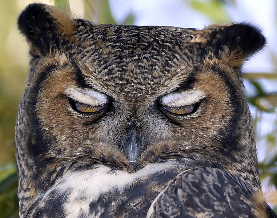 sleepy-owl-john-t-humphrey - Sleepy owls - Photos Unlimited
