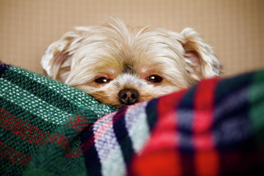 Horizontal Photograph - Sleepy Puppy In Blanket by Gregory Ferguson