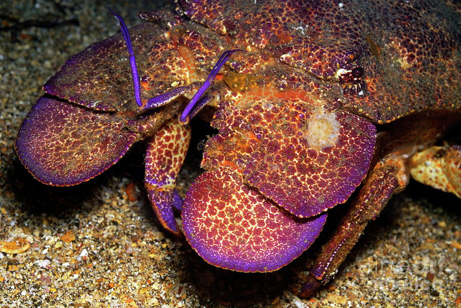 Slipper Lobster On Seabed Photograph  - Slipper Lobster On Seabed Fine Art Print