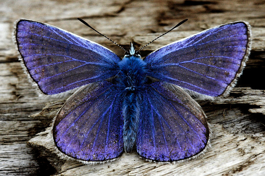 Small Blue Butterfly On A Piece Of Wood In Ireland Photograph