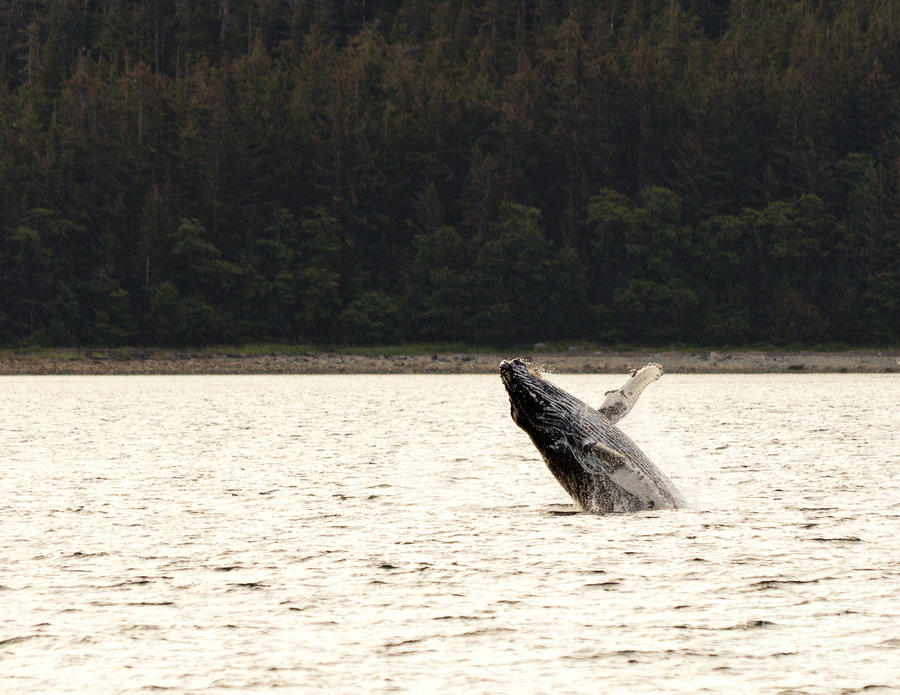 Small Breaching Whale Photograph