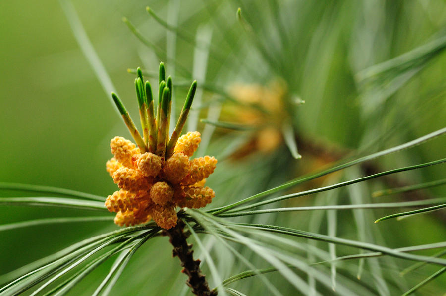 Small Male Cones On A Pine Tree Photograph
