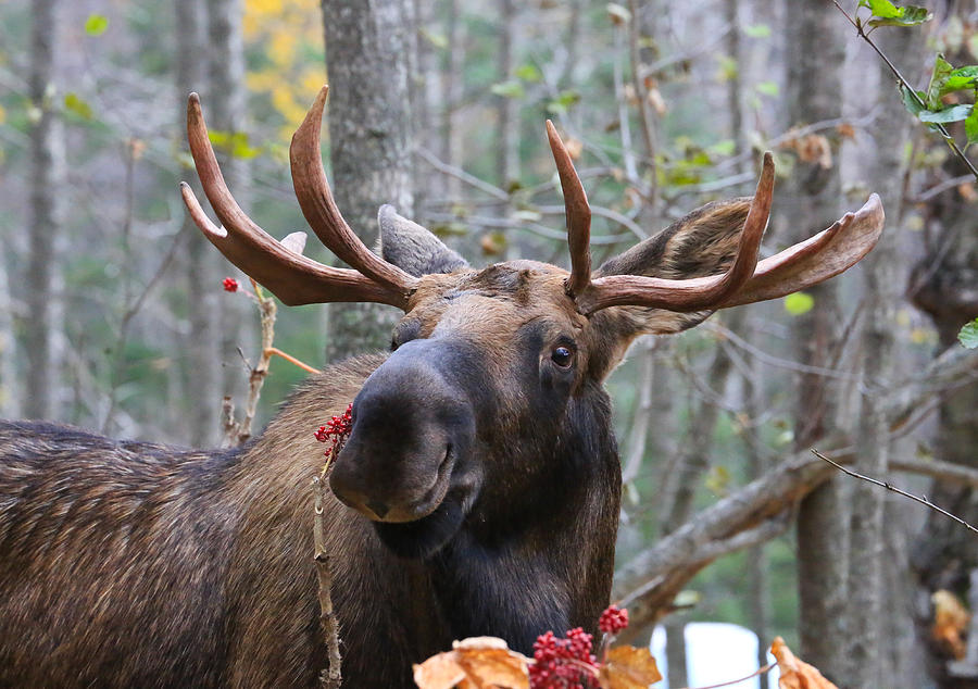 Smiling Alaska Bull Moose Photograph  - Smiling Alaska Bull Moose Fine Art Print
