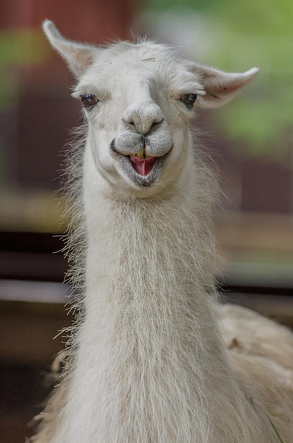 Smiling Alpaca by Greg Nyquist