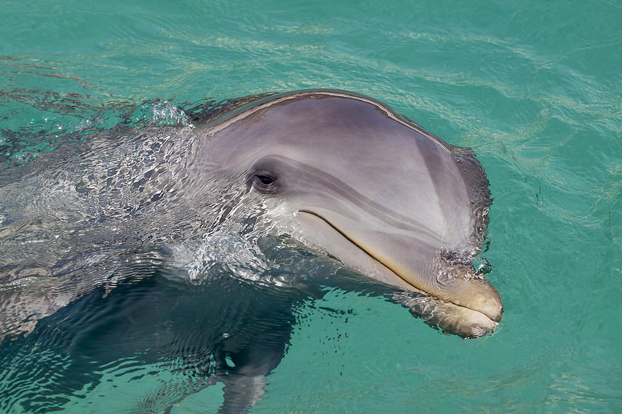 Smiling Atlantic Bottlenose Dolphin Photograph