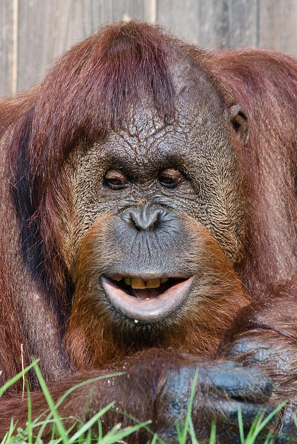 Smiling baby orangutan - photo#23